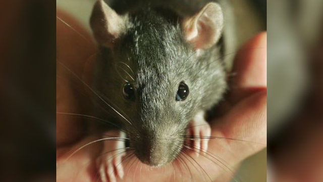 Memphis Named Second Most Roof Rat Infested City In The
